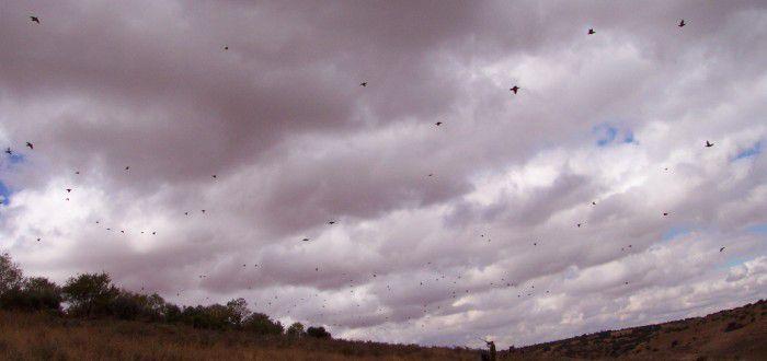 caza de la perdiz roja